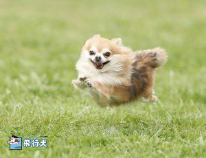 飛行犬撮影所(チワワ)_2